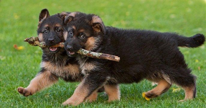 schæferhund sælges